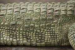 Albino Crocodile-Körper/-haut ist weiß, fast ausgestorben, fanden in Südostasien stockfotos