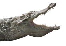 Albino Crocodile-Kopf/-haut ist weiß, fast ausgestorben, fanden in Südostasien stockfotografie