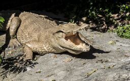 Free Albino Crocodile / Skin Is White Stock Photo - 170825860