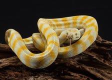 Albino Darwin Carpet Python mit der Zunge heraus, schwarzem Hintergrund und Kopienraum stockbilder