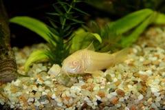 Albino de Corydoras Imagens de Stock Royalty Free