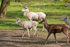 Albino deer Royalty Free Stock Images
