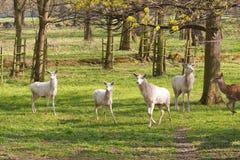 Albino deer Stock Photography