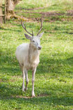 Albino deer Stock Photo
