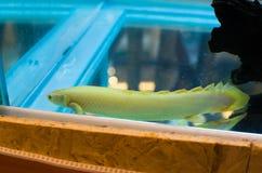 Albino di polypterus senegalus in un carro armato di pesce immagini stock libere da diritti
