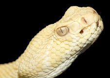 Albino diamond back rattle snake Royalty Free Stock Image