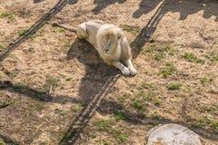 Albino do Leão Foto de Stock