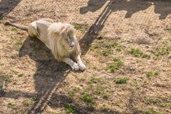 Albino do Leão Imagem de Stock Royalty Free