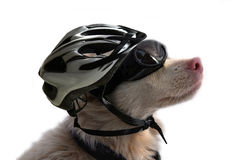 Albino dog with sunglasses and bike helmet. Cute albino dog wearing special dog sunglasses as protection for his light-sensitive eyes and a bicycle helmet royalty free stock images
