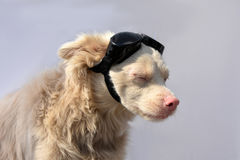 Albino dog with sunglasses Stock Images