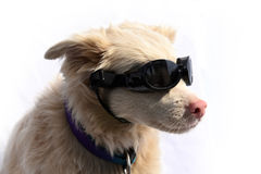 Albino dog with sunglasses Royalty Free Stock Photo