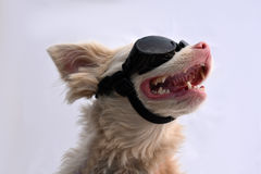 Albino dog with sunglasses Stock Image