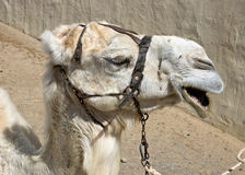 Albino dromedary camel Stock Photo