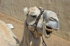 Albino dromedary camel Stock Image