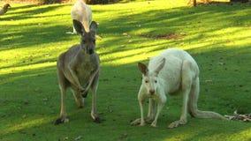 Albino e canguru marrom de lado a lado video estoque