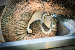 Albino elephant drinking water from tap faucet by use it trunk. Royalty Free Stock Image