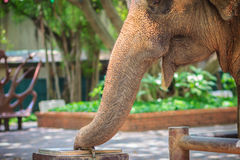 Albino elephant drinking water from tap faucet by use it trunk. Royalty Free Stock Photography