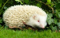 Albino Erinaceus Europaeus, white adult British wild Hedgehog. Rare albino European wild hedgehog in green ivy. The true albino has pink eyes, pink nose and pink stock image