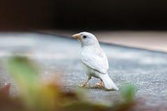 Albino Eurasian Tree Sparrow Photographie stock