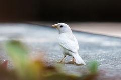 Albino Eurasian Tree Sparrow Stock Photography