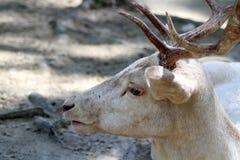 Albino Fallow Deer Imagen de archivo libre de regalías
