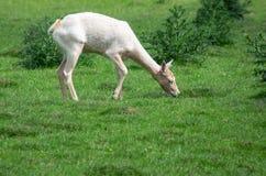 Albino Fallow Deer. An Albino or white Fallow Deer grazing royalty free stock image