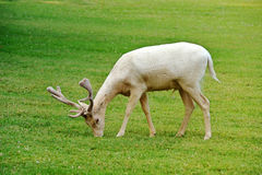 Albino fallow deer. Buck with antlers grazing in a lush green pasture, side view royalty free stock images