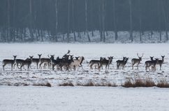 An albino fallow deer in a herd on snow royalty free stock image