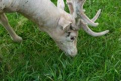 Albino fallow deer grazing Royalty Free Stock Images