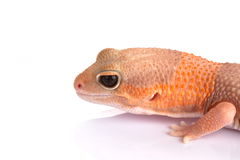 Albino fat-tailed gecko. Side portrait of albino fat-tailed gecko isolated on white background with copy space Stock Photography