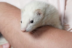 Albino Ferret Stock Photo