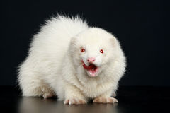 Albino ferret. Sits on a dark background stock image