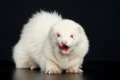 Albino ferret Stock Image