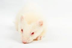 Free Albino Ferret Stock Image - 52380291