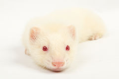 Albino ferret Stock Photography