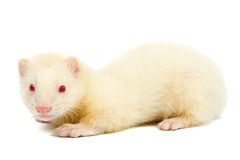Albino ferret Royalty Free Stock Photo