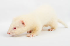 Albino ferret Stock Photos