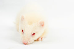 Albino ferret. Lying on a white background Isolated on white background Stock Image