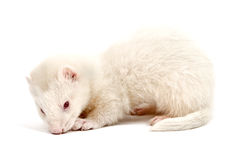 Albino ferret Royalty Free Stock Photos