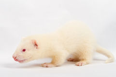 Albino ferret Royalty Free Stock Photography