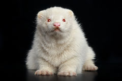 Albino ferret sits on dark floor Royalty Free Stock Images