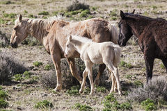 Albino foal with mare Stock Images