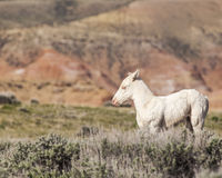 Albino foal with pink eye Royalty Free Stock Photo