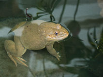 Albino frog Royalty Free Stock Images