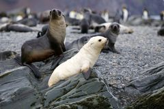 Albino Baby Fur Seal on a rock. An albino fur seal with a group of other fur seals on rocks alongside the foreshore. Taken in antarctica royalty free stock photography