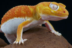 Albino gecko / Nephrurus levis pilbarensis Royalty Free Stock Photos