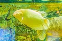 Albino giant gourami (Osphronemus goramy) fish, large gourami na. Tive to Southeast Asia. It lives in fresh or brackish water, particularly slow-moving areas Stock Images