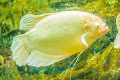 Albino giant gourami (Osphronemus goramy) fish, large gourami na. Tive to Southeast Asia. It lives in fresh or brackish water, particularly slow-moving areas Royalty Free Stock Photo