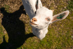 Albino Goat Explores Taking animal recién nacido una rotura a mirar para arriba Imagenes de archivo