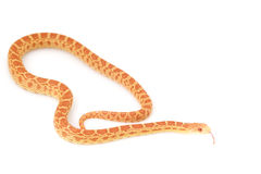 Albino Gopher Snake Royalty Free Stock Photography